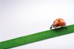 走在一根木棍子的美丽的红色瓢虫 免版税库存照片