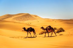 走在一片含沙沙漠中间的独峰驼夫妇在一个晴天 图库摄影
