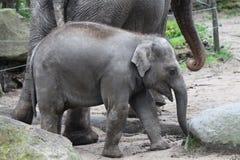 年轻大象 免版税库存图片