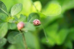 走在与下落的草的瓢虫 库存照片