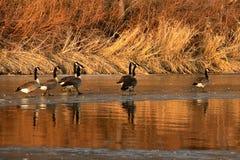 走在与他们的反射的冰的加拿大鹅在水中 库存照片