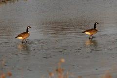 走在与他们的反射的冰的SeveralCanada鹅在水中 免版税库存照片
