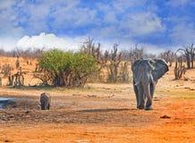走在与在背景中喝从waterhole的一头水牛的平原的大雄象 免版税图库摄影