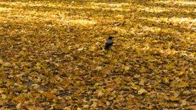 走在五颜六色的秋叶的乌鸦在一好日子 特写镜头射击 免版税图库摄影