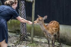 走在人民附近的鹿在奈良公园日本2015年 免版税库存图片