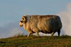 走在从冰岛的小山的公羊 库存照片