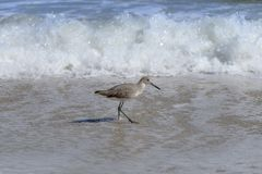 走在佛罗里达海滩的威利特鸟 库存照片