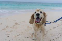走在俏丽的海滩的猎犬 库存图片