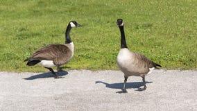 走在公园的两只加拿大鹅 免版税库存图片