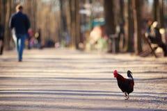 走在公园的自由放养的雄鸡 有机耕田,动物 库存照片