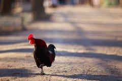 走在公园的自由放养的雄鸡 有机耕田,动物 免版税库存图片