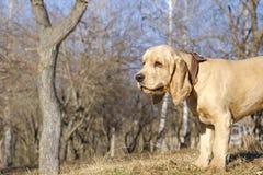 走在公园的英国猎犬小狗 免版税库存照片