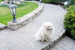 走在公园的逗人喜爱的白色波美丝毛狗狗在温暖的春日 r 免版税库存图片