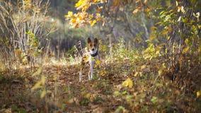 走在公园的Basenji狗 库存图片