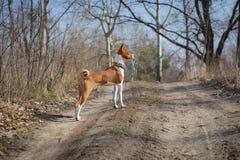 走在公园的Basenji狗 免版税库存图片