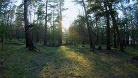 走在具球果森林里 影视素材