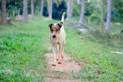 走在农场的狗 图库摄影