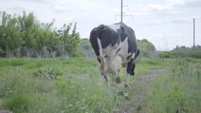 走在农场附近的美丽的孤独的健康穿着考究的母牛 股票录像
