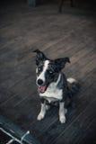 走在冬天城市的博德牧羊犬狗 免版税库存照片