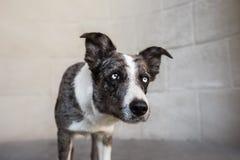 走在冬天城市的博德牧羊犬狗 免版税库存图片
