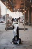 走在冬天城市的博德牧羊犬狗 免版税图库摄影