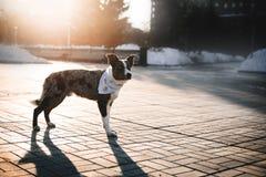 走在冬天城市的博德牧羊犬狗 库存图片