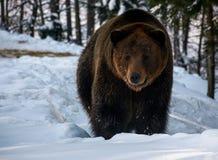 走在冬天森林里的棕熊 库存照片