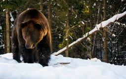 走在冬天森林里的老棕熊 免版税图库摄影