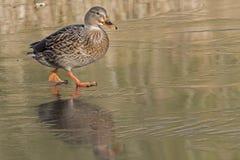 走在冰的一只母野鸭鸭子:南安普敦共同性 图库摄影