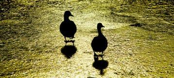 走在冰的两只鸭子 图库摄影