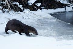 走在冰的河中水獭 免版税库存图片
