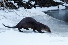 走在冰的河中水獭 图库摄影