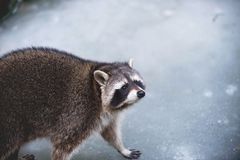 走在冰的逗人喜爱的浣熊画象 低景深 图库摄影