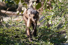 走在分支的小连斗帽女大衣猴子 免版税库存图片