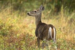 走在刷子的白尾鹿 免版税库存图片