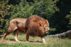 走在动物园封入物的狮子 免版税库存图片