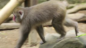 走在动物园的日本猴子 影视素材