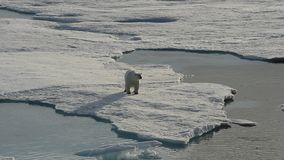 走在北极的北极熊 股票视频