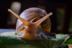 走在叶子的蜗牛的关闭 免版税库存照片