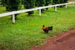 走在咖啡农场草坪的布朗公鸡瓦胡岛的 库存图片
