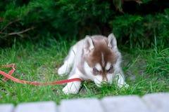 走在围场的一只西伯利亚爱斯基摩人小狗的画象 西伯利亚爱斯基摩人小的逗人喜爱的小狗尾随户外 免版税库存图片
