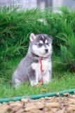 走在围场的一只西伯利亚爱斯基摩人小狗的画象 西伯利亚爱斯基摩人小的逗人喜爱的小狗尾随户外 库存图片