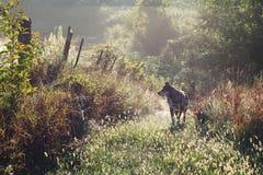 走在国家道路的德国牧羊犬狗在早晨 免版税库存照片