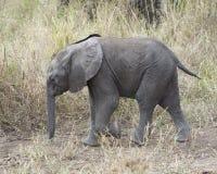 走在土道路的婴孩大象的特写镜头sideview 库存照片