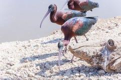 走在地面上的光滑的朱鹭鸟 图库摄影