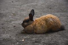 走在地面上的布朗兔子 免版税图库摄影