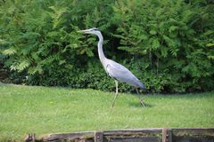 走在垄沟一边的灰色苍鹭搜寻食物 库存照片