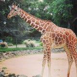 走在埃福特市动物园里的非洲长颈鹿  免版税库存照片