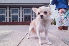 走在城市的奇瓦瓦狗 免版税图库摄影