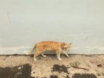 走在墙壁和街道旁边的离群猫 免版税库存照片